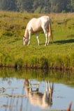 akhal пася лошадь около воды teke perlino Стоковое Фото