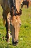 akhal пася teke лошади Стоковые Фото