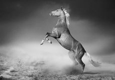 Akhal -akhal-teke paardachtergedeelten in woestijn Stock Foto's