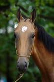 Akhal -akhal-teke paardhengst op autumachtergrond Royalty-vrije Stock Afbeelding