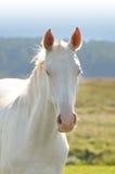 Akhal -akhal-teke paardportret royalty-vrije stock foto