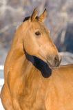 akhal guld- hästståendeteke royaltyfri fotografi