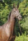 akhal hästteke Royaltyfri Fotografi