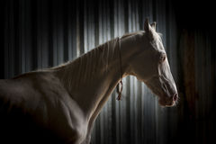 Akhal-Teke在黑色的马画象 图库摄影