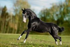 黑akhal-teke年轻公马奔跑疾驰 库存照片