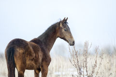 Akhal-teke colt portrait in early spring Stock Photos