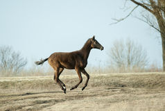 Akhal-teke colt running free in spring field Stock Photo