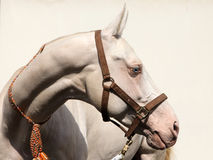 Akhal-Teke Cremello horse portrait. Beautiful Akhal-Teke cremello horse blue eyes portrait. Cremellos (or isabellas in Europe) and Perlinos are found quite royalty free stock photography
