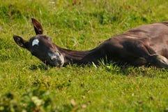 Akhal-teke foal Royalty Free Stock Images