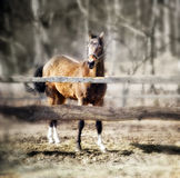 Akhal-teke foal Stock Photo
