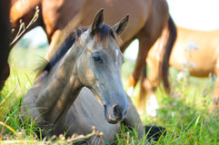 Akhal-teke Foal having a rest in the pasture. horses are grazing Royalty Free Stock Photos