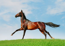 Akhal-teke free horse. An akhal-teke free horse in summer Stock Images