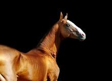 Akhal-teke häst på svart Arkivbild