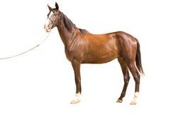 Akhal-teke horse. On white background royalty free stock photo