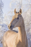 Akhal-teke horse. In winter stock images
