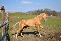 Akhal-Teke horse. The tree-year old Akhal-Teke stallion stock images