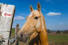 Akhal-teke horse. And the red arrow royalty free stock photos