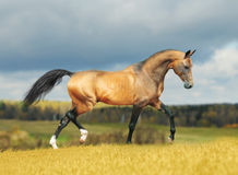 Akhal-teke horse in autumn Royalty Free Stock Photo