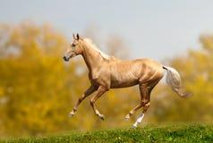 Akhal-teke horse. In autumn stock photo