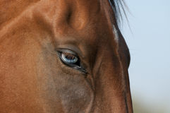 Akhal-teke horse with beautiful blue eyes Royalty Free Stock Photography