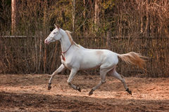 Akhal Teke horse. Beautiful cremello Akhal Teke mare running outdoors stock photos