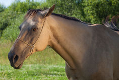 Akhal Teke horse Stock Photos