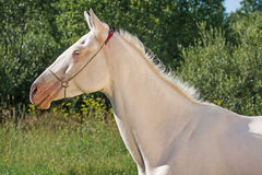 Akhal Teke horse Royalty Free Stock Photos