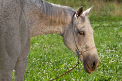 Akhal Teke horse Stock Photography