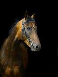 Akhal-teke horse. On a black stock photography