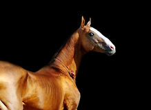 Akhal-teke horse on black Stock Photography