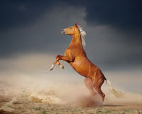 Akhal-teke horse in desert Royalty Free Stock Photography