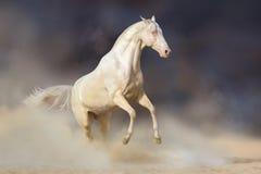Akhal-teke horse in desert. Akhal-teke horse rearing up in desert dust against dark background stock photos