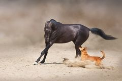 Akhal teke Horse and dog