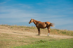Akhal-teke horse in dry pasture under the heating sun. An akhal-teke horse in dry pasture under the heating sun stock image