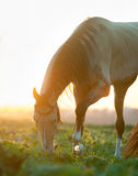 Akhal-teke horse in the field with backlight of sunset. An akhal-teke horse in the field with backlight of sunset Stock Photos
