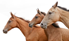Akhal-teke horse and foal Stock Photo