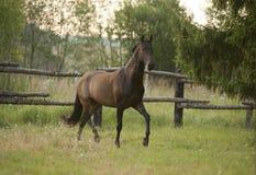 Akhal-teke horse gallop in paddock Stock Image