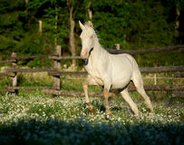 Akhal-teke horse galloping at the field with flowers. The Akhal-teke horse galloping at the field with flowers stock image