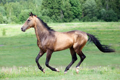 Akhal-Teke horse gallops in field. At summer Stock Image