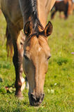 Akhal-teke horse grazing. On a field stock photos