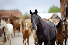 Akhal-teke horse with herd behind. Akhal-teke horse with the herd behind stock photography