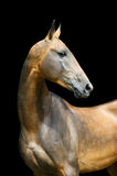 Akhal-teke horse isolated on black Stock Images
