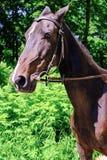 Akhal-Teke horse. Muzzle thoroughbred Akhal-Teke horse, photo in nature stock image