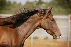 Akhal-teke horse portrait. In action stock photography