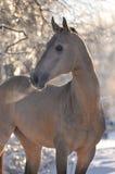 Akhal-teke horse portrait. In winter Stock Image
