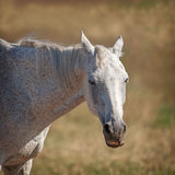 Akhal Teke horse Royalty Free Stock Images