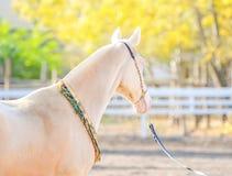 Akhal-Teke horse portrait. stock images