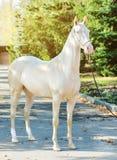 Akhal-Teke horse portrait. royalty free stock photos