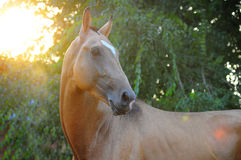 Akhal-teke horse portrait in summer Stock Photo