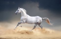 Akhal-teke horse running in desert. An akhal-teke horse running in the desert Royalty Free Stock Images